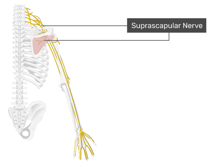 Image showing posterior view or suprascapular nerve and infraspinatus.