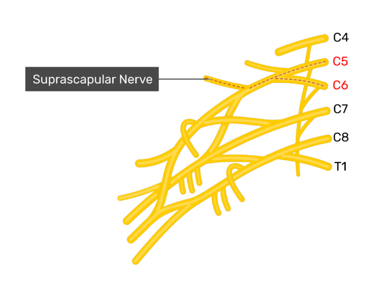 Image showing the brachial plexus with the suprascapular nerve and roots labelled.