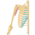 Coracobrachialis Muscle - Attachments, Action & Innervation