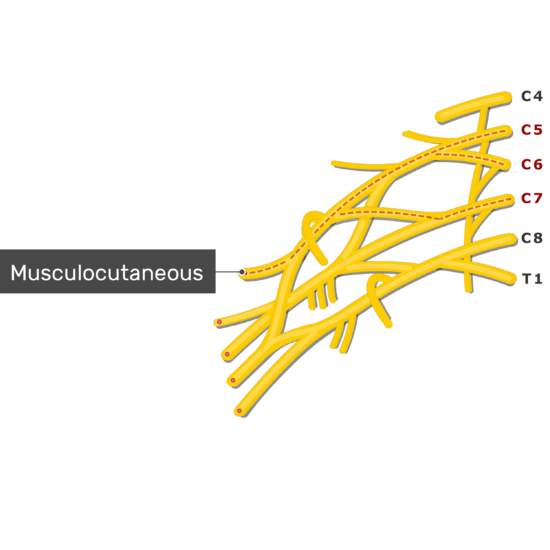 An image showing the Musculocutaneous nerve coming out of the brachial plexus