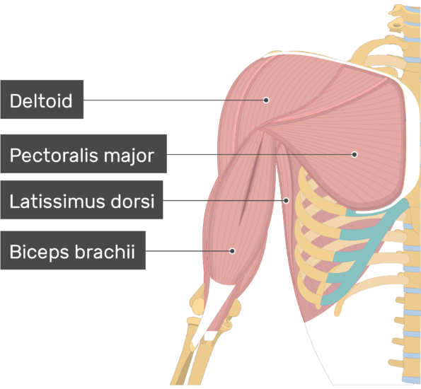 An image showing some muscles attached to the upper limb (Detloid, Pectoralis major, Latissimus dorsi, Biceps brachii)