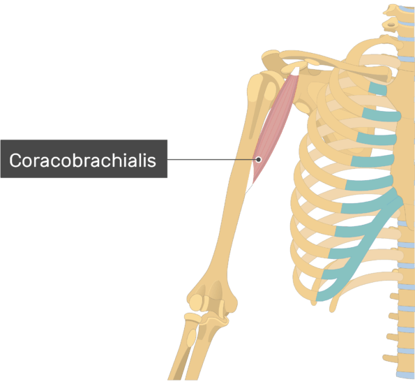 An imagw showing the Coracobrachialis Muscle muscle attached to the upper limb