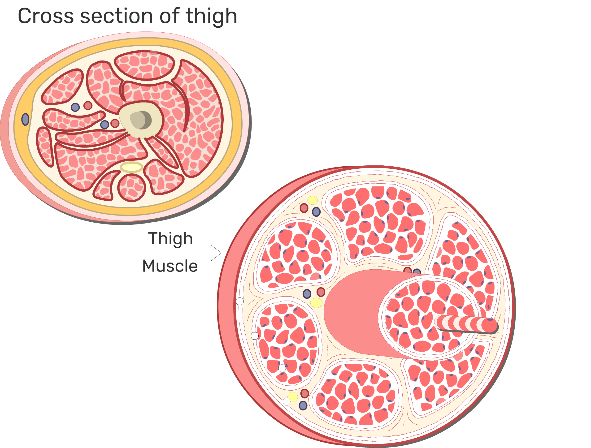 Skeletal Muscle Fiber Location and Arrangement