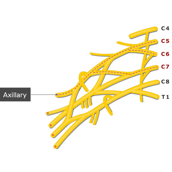 An image showing the Axillary nerve coming out of the brachial plexus