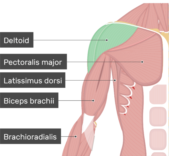 An image showing the Deltoid Muscle (highlighted) attached to the upper limb along with other muscles (Pectoralis major, Lattisimus dorsi, Biceps brachii, Brachioradialis)