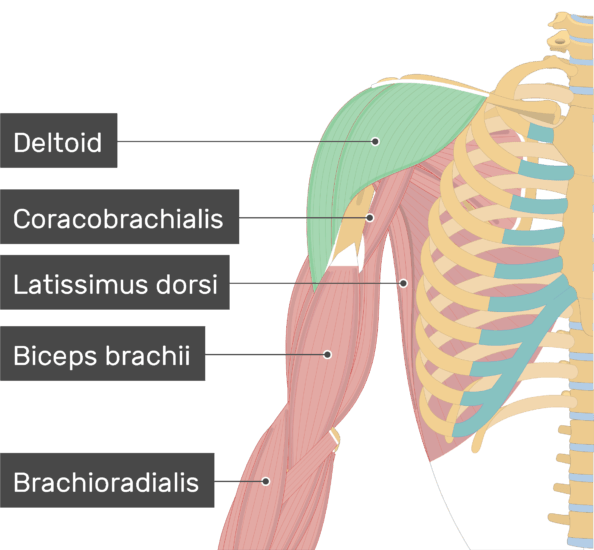 An image showing the Deltoid Muscle (highlighted) attached to the upper limb along with other muscles (Coracobrachialis, Latissimus dorsi, Biceps brachii, Brachioradialis)