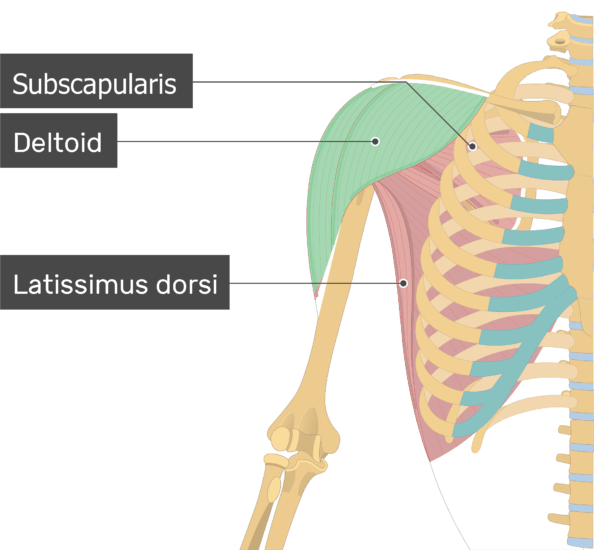 An image showing the Deltoid Muscle (highlighted) attached to the upper limb along with other muscles (Subscapularis, Latissimus dorsi)
