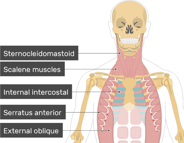 An image showing some muscles attached to the skeleton (Sternocleidomastoid, Scalene muscles, Internal intercostal, Serratus anterior, External oblique)