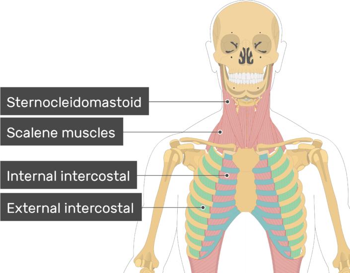 An image showing the External Intercostal Muscles (highlighted) attached to the skeleton along with other muscles (Sternocleidomastoid, Scalene muscles, Internal intercostal)