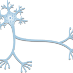 General Structure of a Neuron (Nerve Cell)