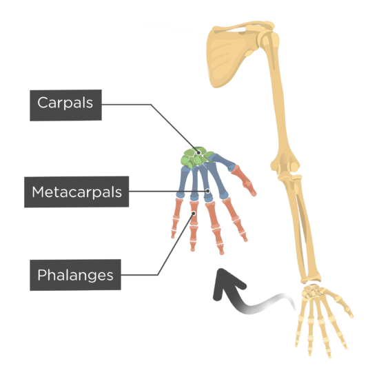 overview of skeletal 5 copyright © 2009 pearson education, inc growth hormone (gh) - directly stimulates growth of the epiphyseal plate and bone growth in general.