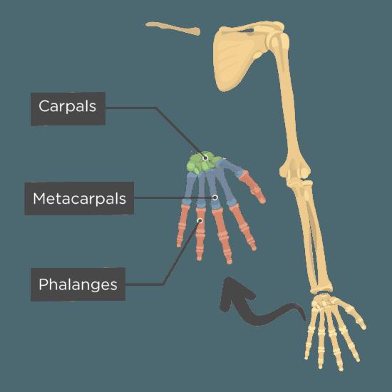 Skeleton Skeletal System Overview
