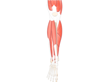 Muscles That Act On Foot & Ankle (From Ant. Leg Comp.) - Featured