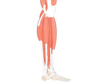 Muscles That Act On Foot & Ankle (From Lat. Leg Comp.) - Featured