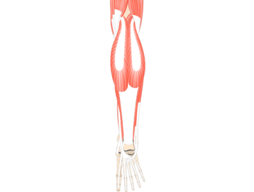 Muscles That Act On Foot & Ankle (From Post. Leg Comp.) - Featured
