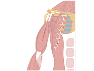 Muscles That Act On The Anterior Arm - Featured