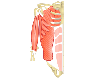 Muscles That Act On The Anterior Shoulder - Featured