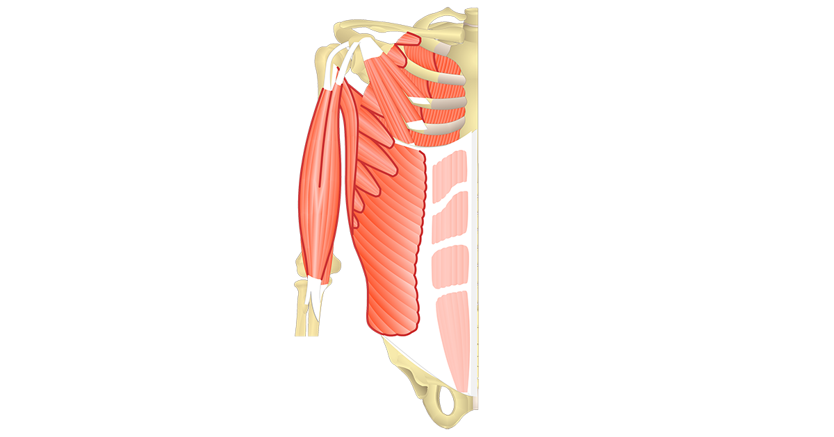Muscles That Act On The Anterior Shoulder