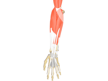Muscles That Act On The Anterior Wrist and Hand - Featured