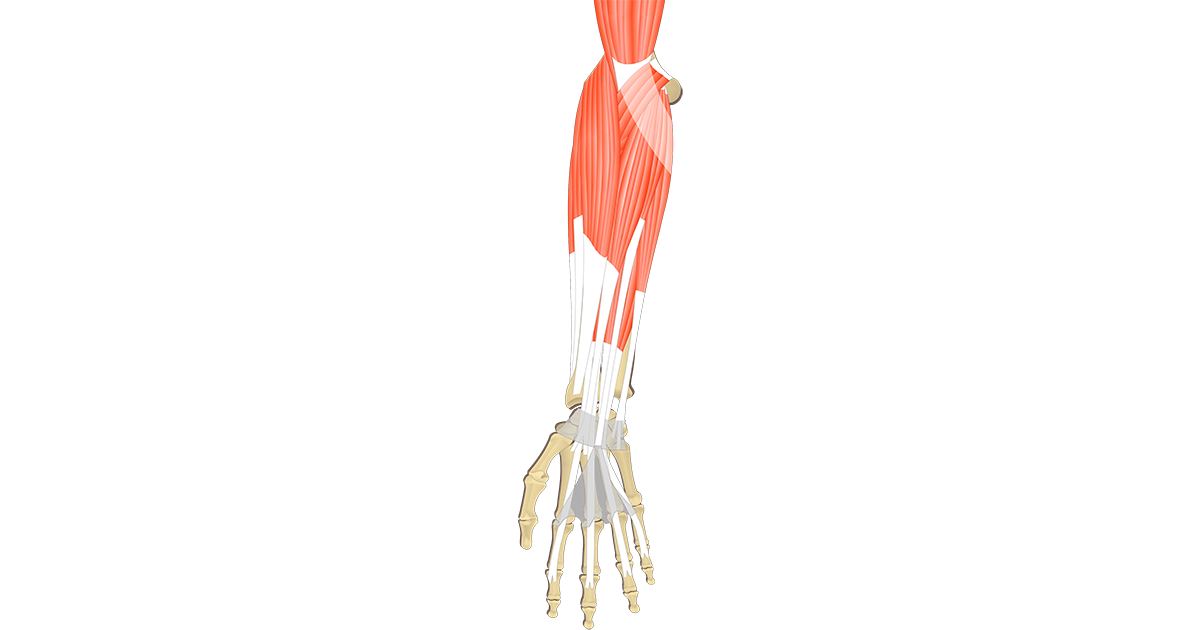 Muscles That Act On The Anterior Wrist And Hand