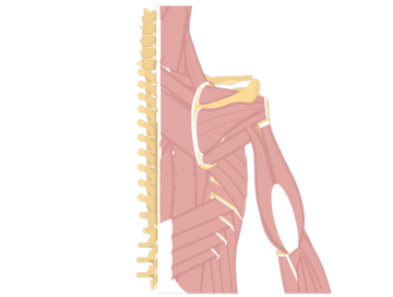Muscles That Act On The Posterior Arm - Featured