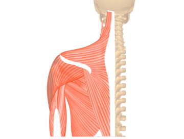 Muscles That Act On The Posterior Shoulder - Featured