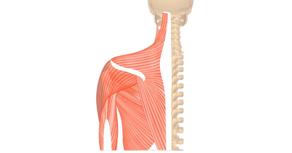 Muscles That Act On The Posterior Shoulder