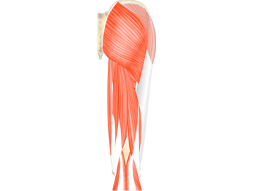 Muscles That Act On The Posterior Thigh (From The Hip) - Featured