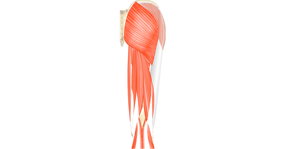 Muscles That Act On The Anterior Thigh From The Hip
