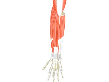 Muscles That Act On The Posterior Wrist & Hand - Featured