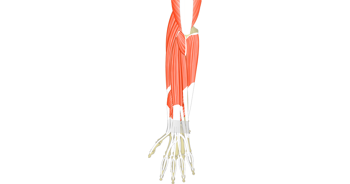 Muscles That Act On The Posterior Wrist & Hand