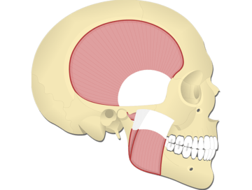 Muscles of Mastication - Featured