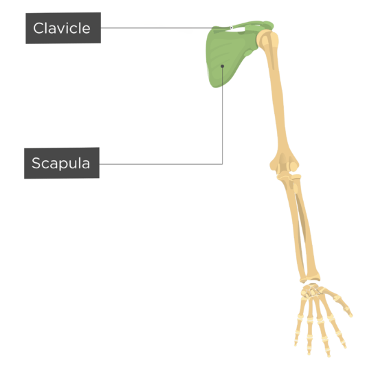 Skeleton | Skeletal System Overview