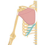 Pectoralis Major Muscle - Attachment, Action & Innervation