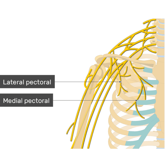 An image showing the Lateral and Medial pectoral nerves coming out of the brachial plexus