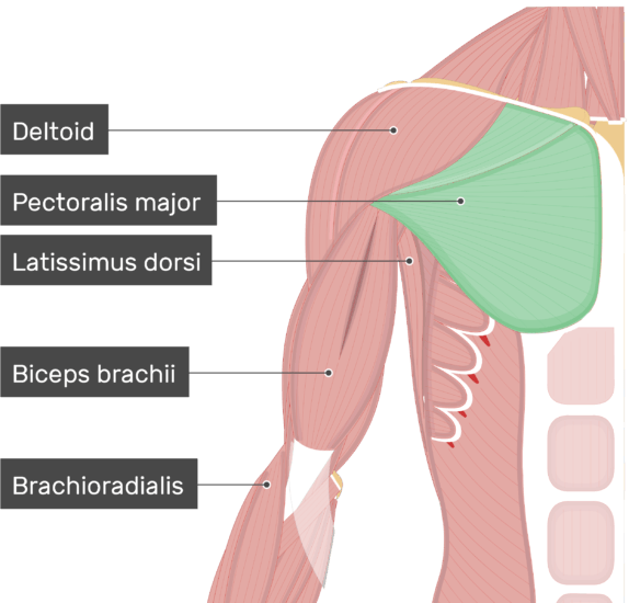 An image showing the Pectoralis Major Muscle (highlighted) attached to the upper limb along with other muscles (Deltoid, Latissimus dorsi, Biceps brachii, Brachioradialis)
