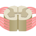 Spinal Cord Quiz: Cross-Sectional Anatomy