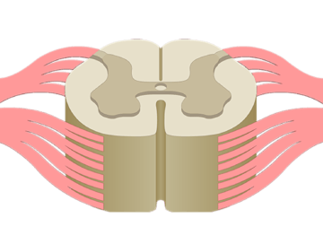 Spinal Cord - Cross-Sectional Anatomy - Featured