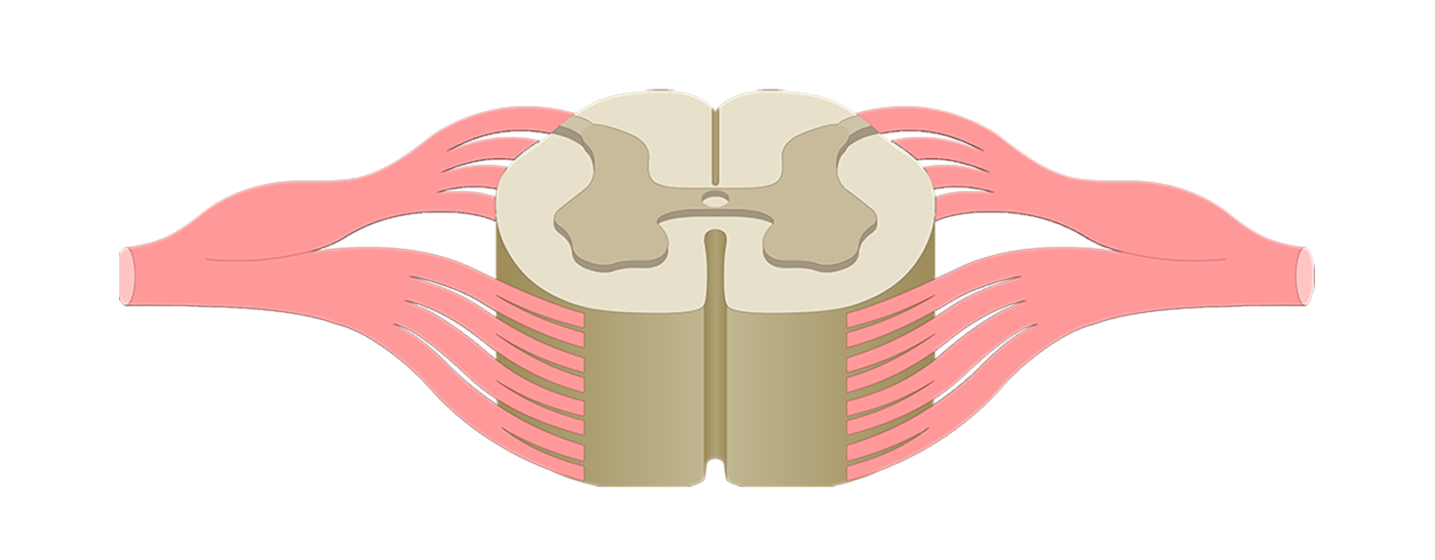 Spinal Cord Quiz Cross Sectional Anatomy
