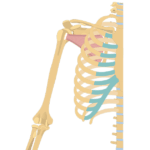 Subscapularis Muscle - Attachments, Action & Innervation