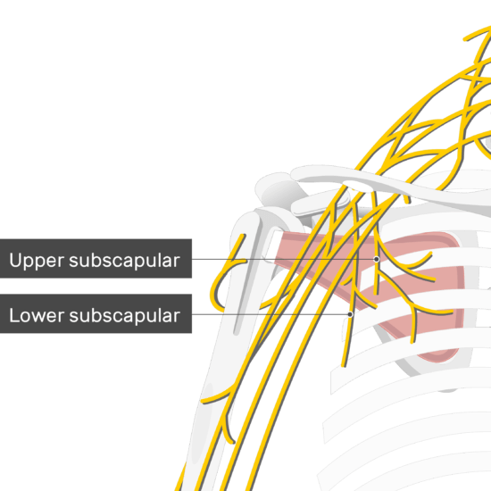 An image showing the upper and lower subscapular nerves coming out of the brachial plexus