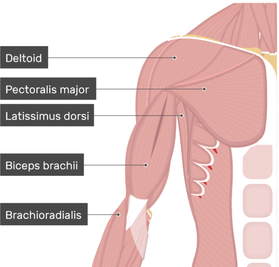 An image showing few muscles attached to the upper limb (Deltoid, Pectoralis major, Latissimus dorsi, Biceps brachii, Brachioradialis)