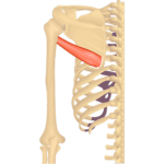 Teres Major Muscle - Attachments, Action & Innervation