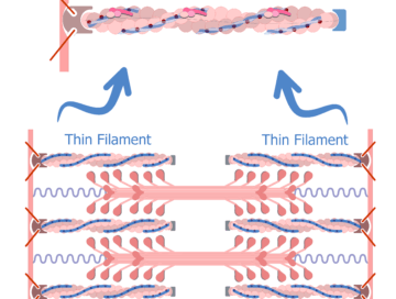 Thin filaments