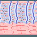 Internal Anatomy of Skeletal Muscle Fibers