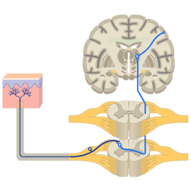 Nervous System Structure Function